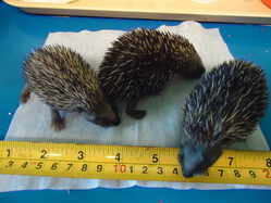 The New Arc - baby hedgehogs